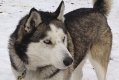 Breckenridge Colorado Adopt a Sled Dog